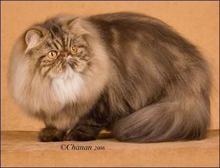 GC Gorbe Irani Rocky Road Of Jude, Chocolate Classic Tabby Persian, Male