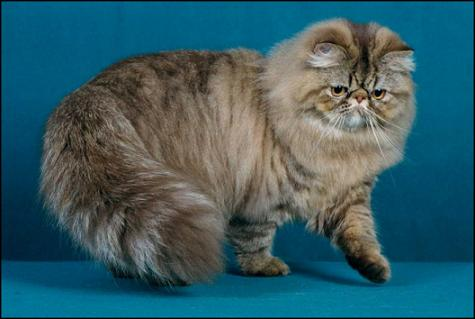 Featherland's Weird Science, Chocolate Mackerel Tabby Persian, Male