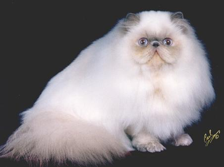 GC, RW Yo-Mans Amazing Grace, Lilac Point Himalayan