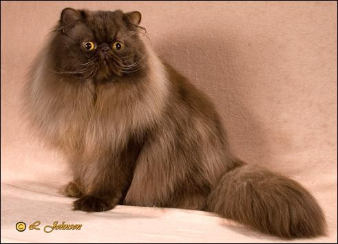 GC PatsQuats Kahlua (Chumley) Chocolate Persian